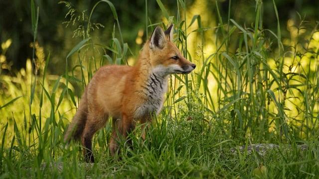 Fuchs steht im Gras