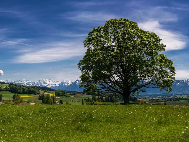 Grüne Wiese mit einem grossen Baum mit vielen Blättern. Am Horizont die verschneiten Alpen. Der Himmel ist blau und nur leicht bewölkt, die Sonne scheint.