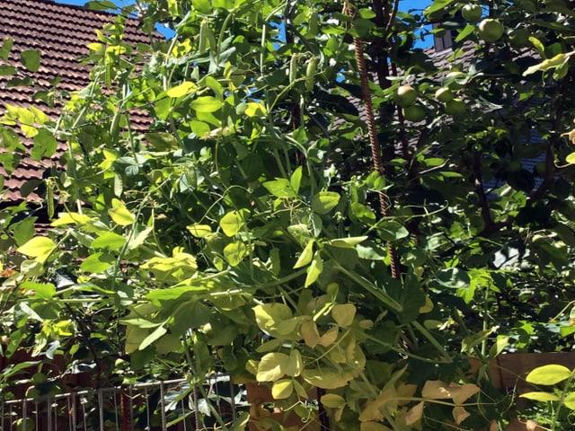 eine dichte Erbsenpflanze