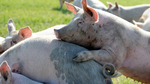 Schweine auf Wiese.