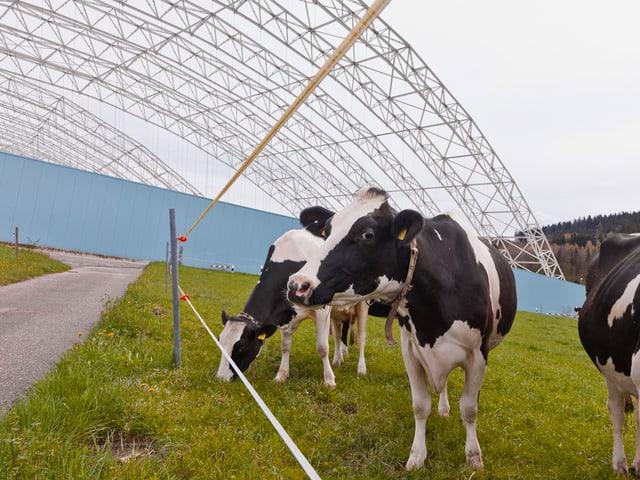 Kühe vor SMDK
