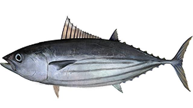 Der Echte Bonito, von Biologen Katsuwonus pelamis genannt.