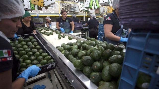 Avocado-Verarbeitung in Mexiko