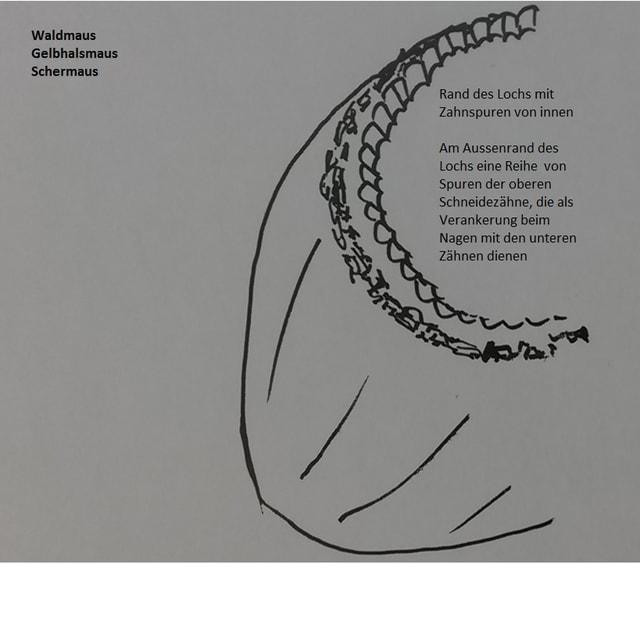 Beschreibung und Zeichnung wie Waldmaus, Gelbhalsmaus und Schermaus eine Nuss benagen