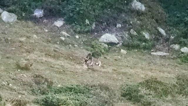 Junger Wolf im Wallis.
