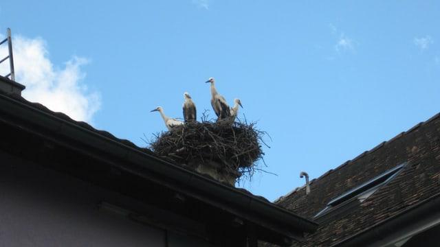 Nest mit Störchen