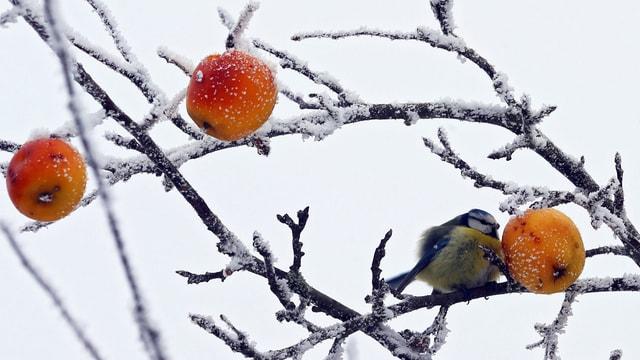 Apfelbaum, der von Frost überzogen ist.