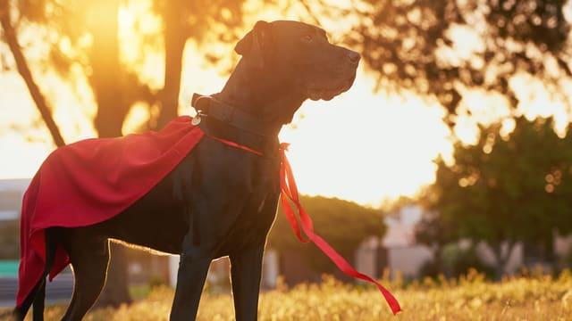 Hund mit einem rotem Cape.