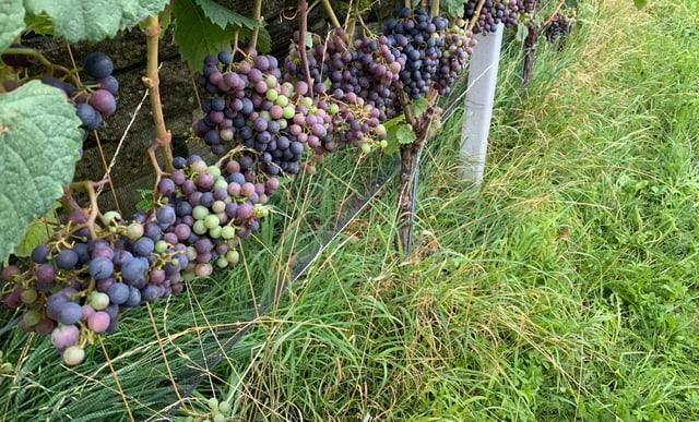 Weintrauben am Rebberg.