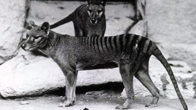 Schwarz-Weiss-Foto zweier tasmansicher Tiger.