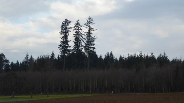 3 Douglasien ragen aus dem Wald