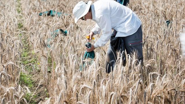 Zu sehen ist ein Mann bei der Weizen-Ernte.