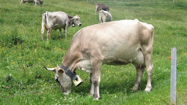 Weidende Kühe auf der Alp Bleiki ob Niederrickenbach am Buochserhorn in der Innerschweiz.