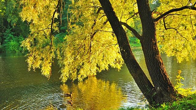 Eine herbstlich-gelbe Weide an einem Fluss