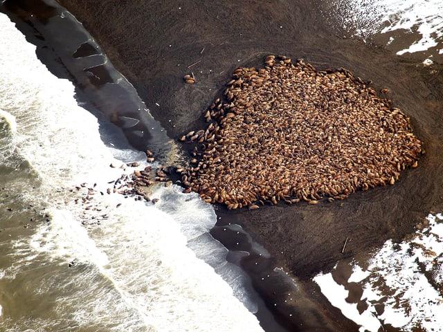 Luftaufnahme der Walrosse am Strand.