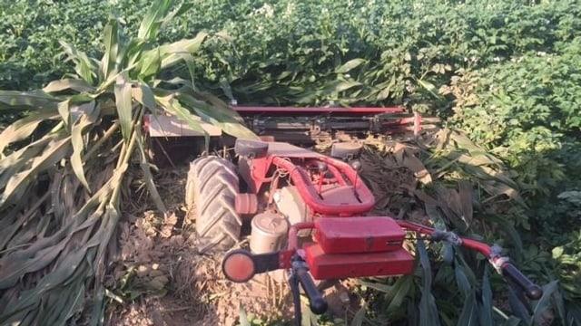 Roter Handmäher, daneben ausgerupfte Maisstude und Kartoffelfeld