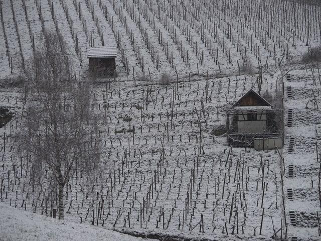 In einem Rebberg liegen ein paar Zentimeter Schnee. Es kommen Wintergefühle auf, der Frühling scheint so fern.