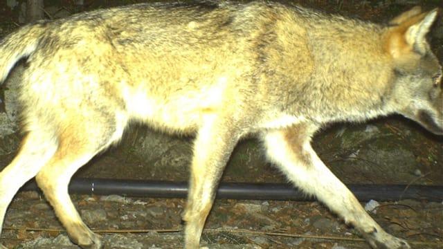 Ein Foto eines Wolfes, der in eine Fotofalle tappt.