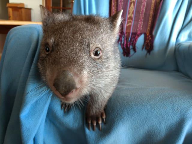 Wombat Ellie
