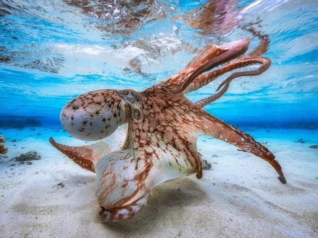 Ein Oktopus auf dem Meeresgrund.