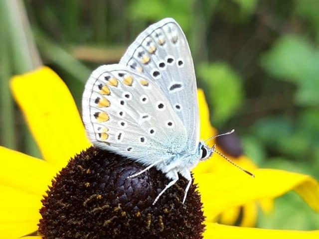 Schmetterling sitzt auf einem Blütenkopf