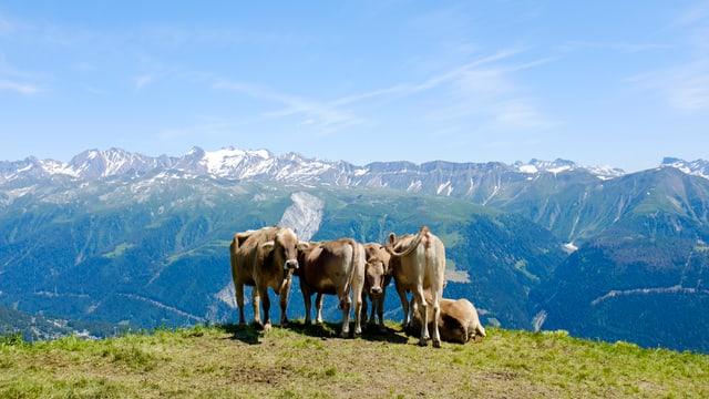Kühe auf der Oberwalliser Fiescheralp