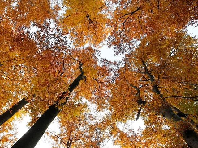 Herbstlich eingefärbte Bäume von unten fotografiert.