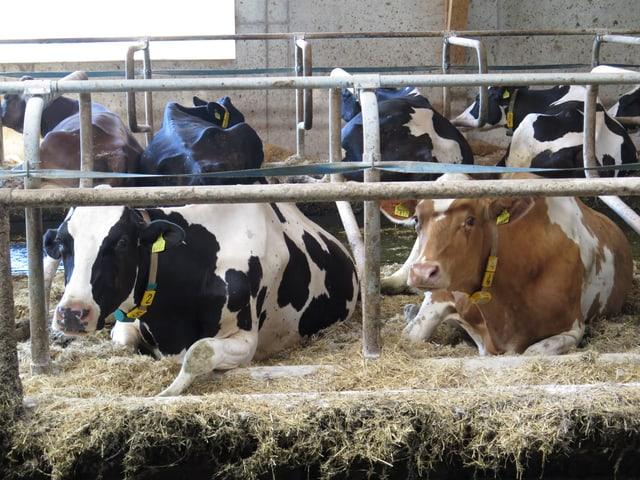 Kühe liegen in einem Stall