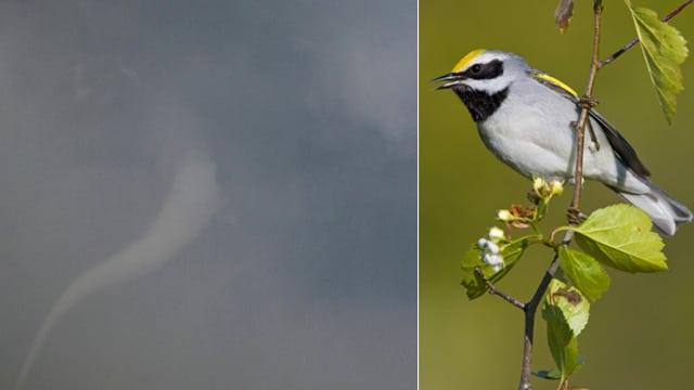 Die Fotomontage zeigt links einen weit entfernten Wirbelsturm. Auf der anderen Seite ist ein Goldflügel-Waldsänger auf einem Ast zu sehen.