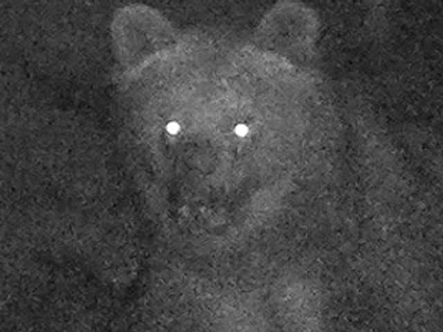 Bär schaut in Fotofalle