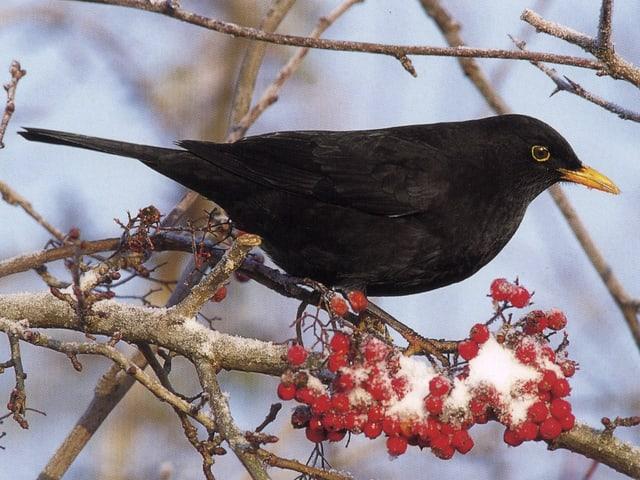 Eine Amsel in ihrem schwarzen Kleid sitzt auf einem Ast. Dieser Ast ist mit roten Beeren bestückt und darauf liegt noch etwas Schnee.