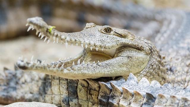 Kopf eines Krokodils mit geöffnetem Maul.