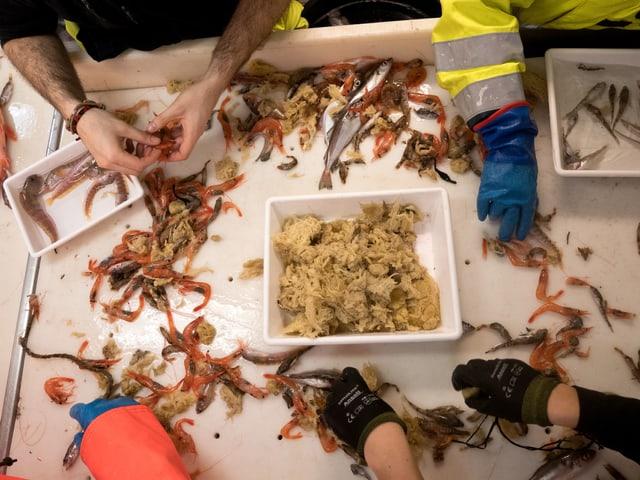 Hände sortieren Meeresorganismen auf einem Tisch.