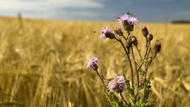 Bienen sitzen auf einer Distel im Getreidefeld.