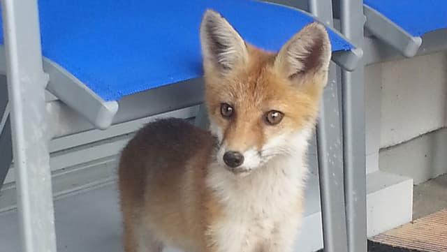 Kleiner Fuchs.