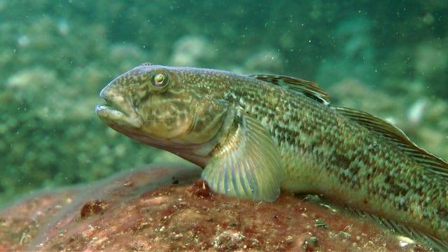 Video «Fische: Grundeln und dunkle Tiefen (6/6)» abspielen