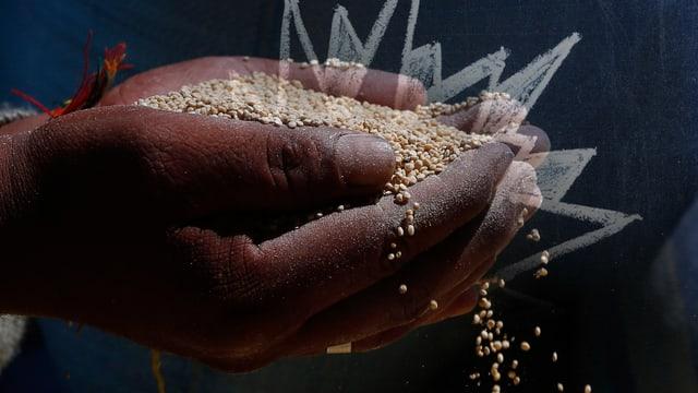 Gesammelte Quinoa-Körner.
