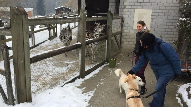 Zebras und Hunde im Walter Zoo.