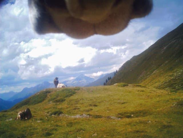 Bauer Christoph Sigrist montierte eine Minikamera an Kühe im ganzen Land.