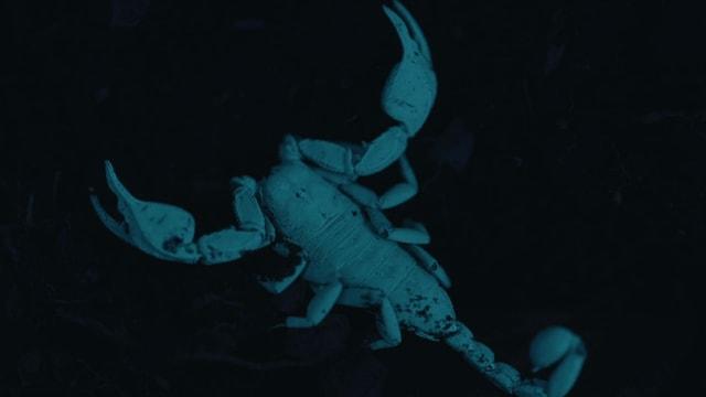Ein Skorpion stahl in bläulichem Licht, da man ihn im Dunkeln mit UV-Licht beleuchtet.