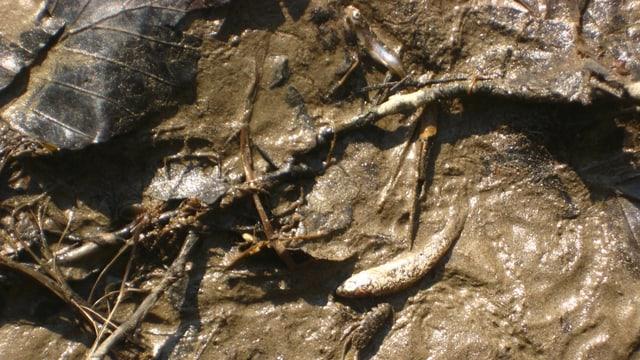 Verendete Fische im Schlamm