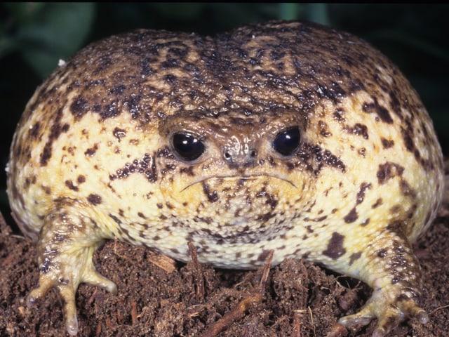 Zu sehen ist ein bräunlicher Regenfrosch im Profil. Sein Körper ist massig, der Kopf viel kleiner.