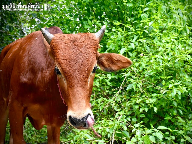 Rind vor einem Busch in der thailändischen Tier-Auffangstation WFFT. Es leckt sich das Nasenloch.