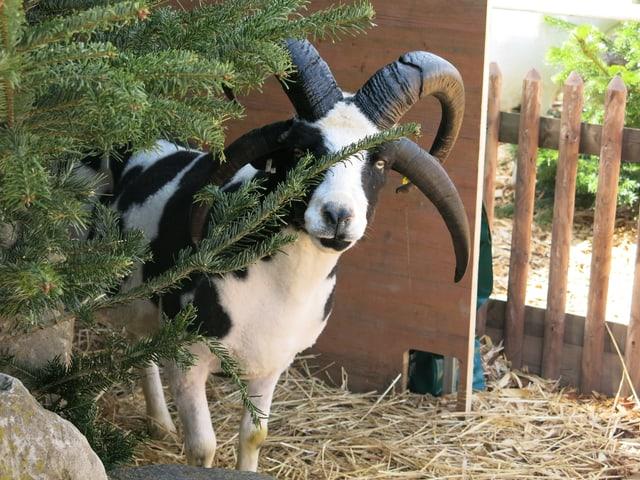 Schafsbock mit vier Hörnern.