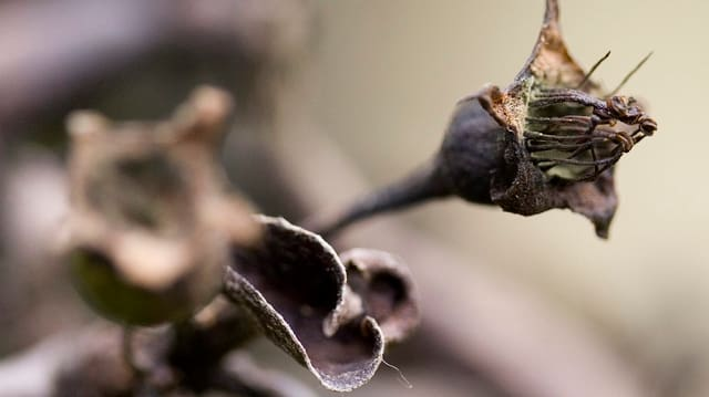Schwarze Blüten und Blätter eines Obstmaues
