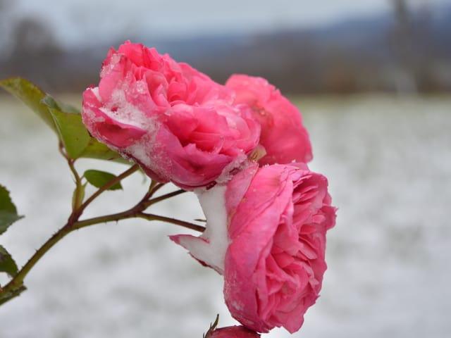 Rosenblüten mit Schnee bedeckt