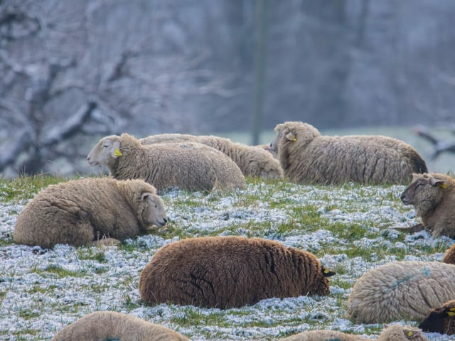 Einige Schafe liegen in einer leicht verschneiten Wiese. Es scheint kühl und grau zu sein.
