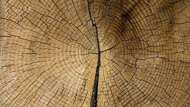 Nahansicht von Ringen eines Baumstammes.