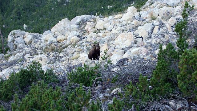 Ein Bär in einer Geröllhalde.