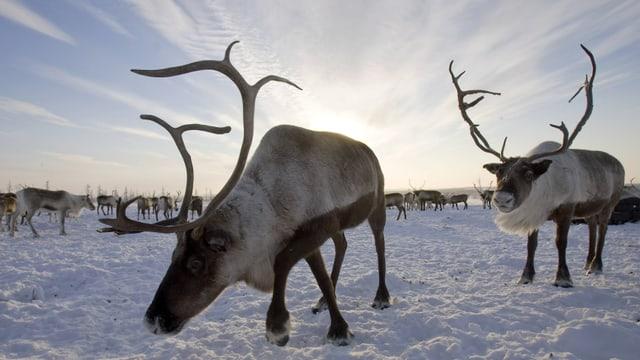 Eine Rentierherde bei klarem Winterwetter in der verschneiten sibirischenTaiga.